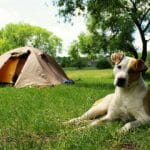 a dog and tent