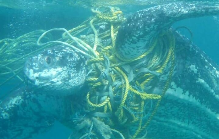Turtle entangled in fishing waste